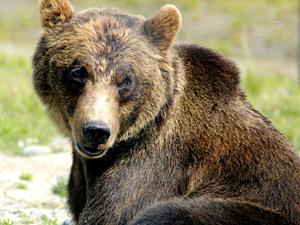 Bear Spirit Animal